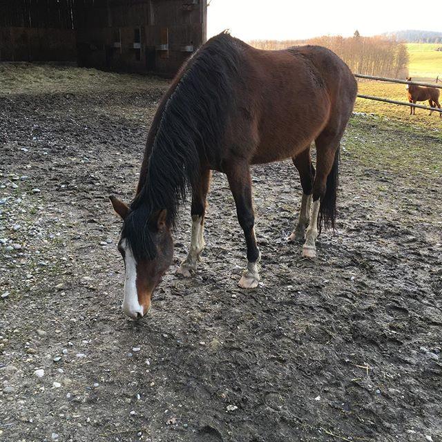 Danke für 100 Abonnenten!!!️ In so einer kurzen Zeit! Bin so glücklich  #hundert #100 ##horse #horsesofinstagram #horses #horsewithcolor #ahorsewithcolors #ahorsewithcolor #love #my #dreamhorse #größterwunsch #pferd #pferde #koppel #haustier #braune #bayrisches #warmblut #stute #5jährig #muss #sie #haben # #