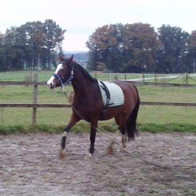 Mein Whiskylein beim einreiten!Wegen dem crowd funding!Es geht bloß solange,bis ich Withcolors kaufen kann oder sie verkauft ist!Also helft mir bitte!️#horse # # #️️ # # # #pferd #anhänger #traumpferd #dreamhorse #mein #projekt #crowdfunding #spende #für #ein #Pferd #ahorsewithcolors #withcolors #whisky #whiskey #herz #kauft #ein