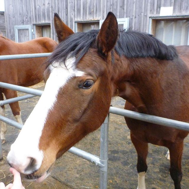 HeyDa ist mal wieder Withcolors,wer soll es denn sonst seinUnd dahinter ist ihre Freundin #horse #pferd #stute #braun #weiß #mähne #159 #cm #klein #bayrischeswarmblut #my #love #withcolors #whisky #whiskey