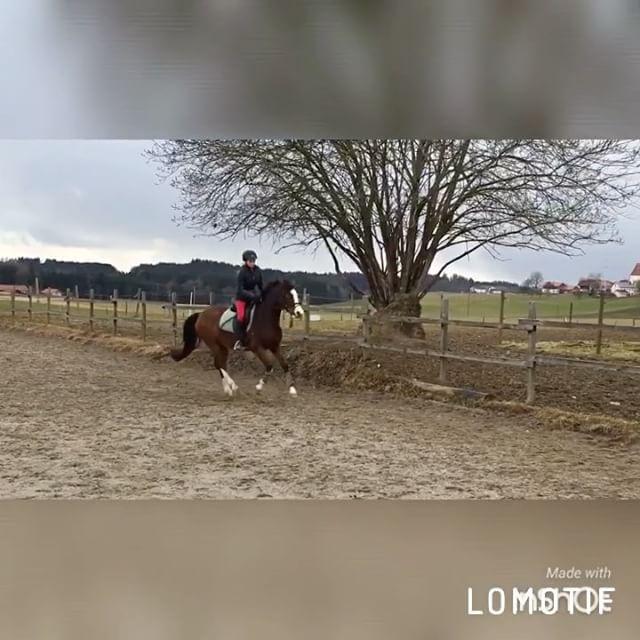 Nicht perfekt aber ich finde es gutEs war ein Traum, dass ich sie reiten darf und er wurde erfüllt️. Es fühlte sich an als würde ich auf Wolken schweben so angenehm und so schöne Gänge 😀 ich bin verliebt, aber das eh schon länger🏻 #horse #pferd #pony #traum #traumpferd #love #this #horse # # #my #love #ich #werde #kämpfen #spendenaufruf #spende #bitte #hilfe #helft #mir #whisky #whiskey #withcolors #gallop