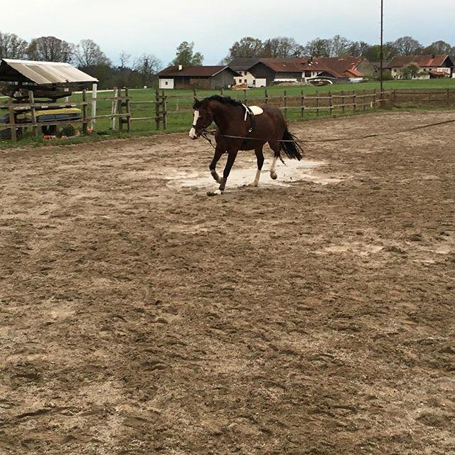 Wie ein Profi geht sie einfach durch die Pfütze#whiskey #withcolours #whisky #horses #horse