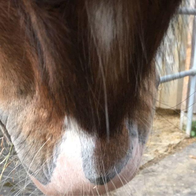 Wisst ihr das Withcolours auch da einen weißen Punkt hat#horse #whiskey #withcolours #whisky #horses #pferd #braun #weiß